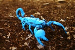 Blue_Scorpion